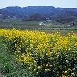 2013.3.13 菜の花と山.jpg